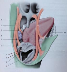 muscles de la langue
